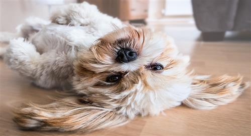 Aceite de oliva, gran aliado de la salud de tu perro