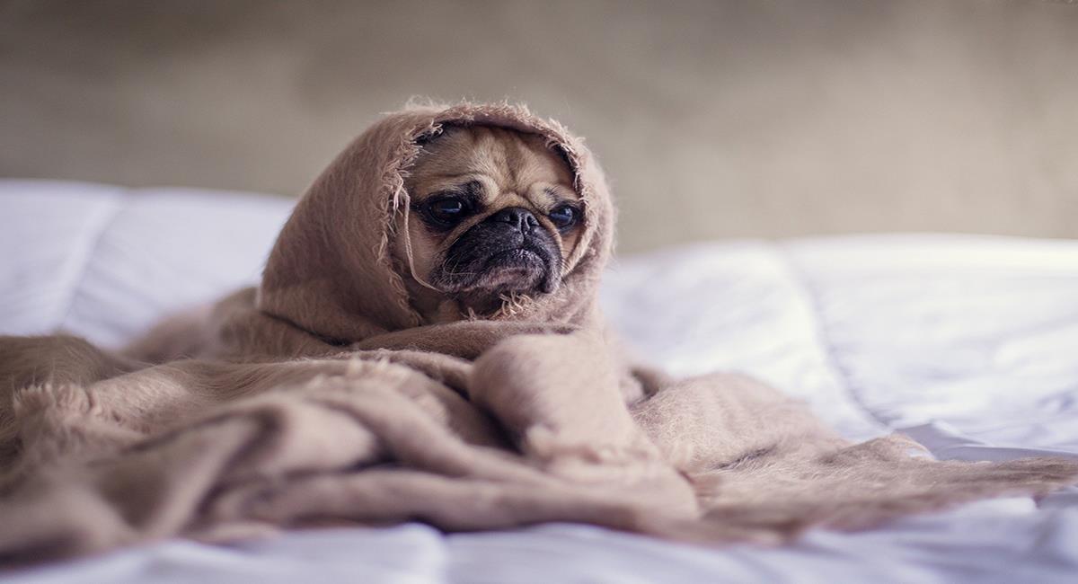 Casos de perros con deformidades se presentan en el mundo entero. Foto: Pixabay