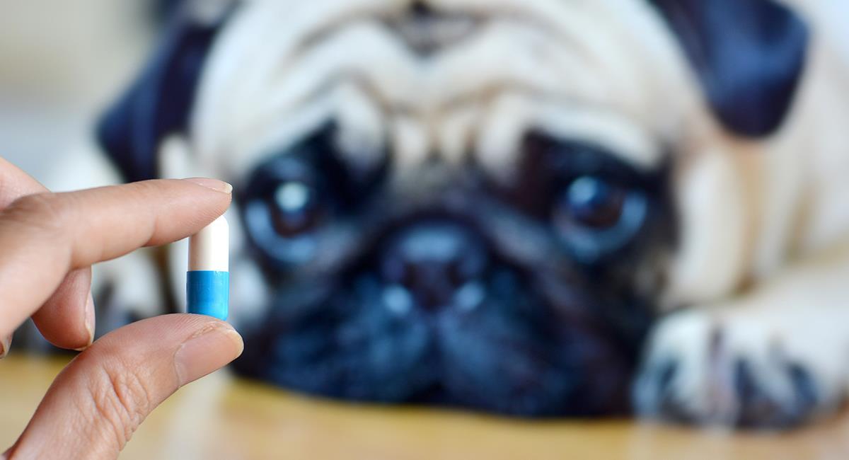 Consejos para que puedas darle fácilmente una pastilla a tu perro. Foto: Shutterstock