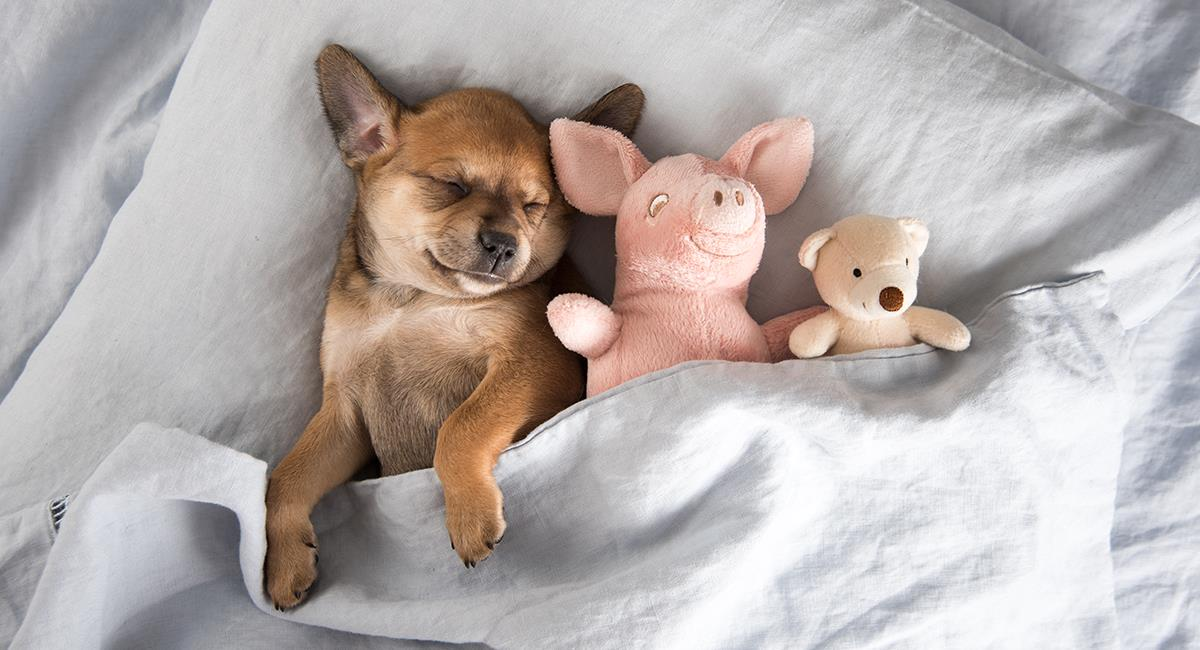 Te enseñamos a reaccionar correctamente cuando tu perro tiene pesadillas. Foto: Shutterstock