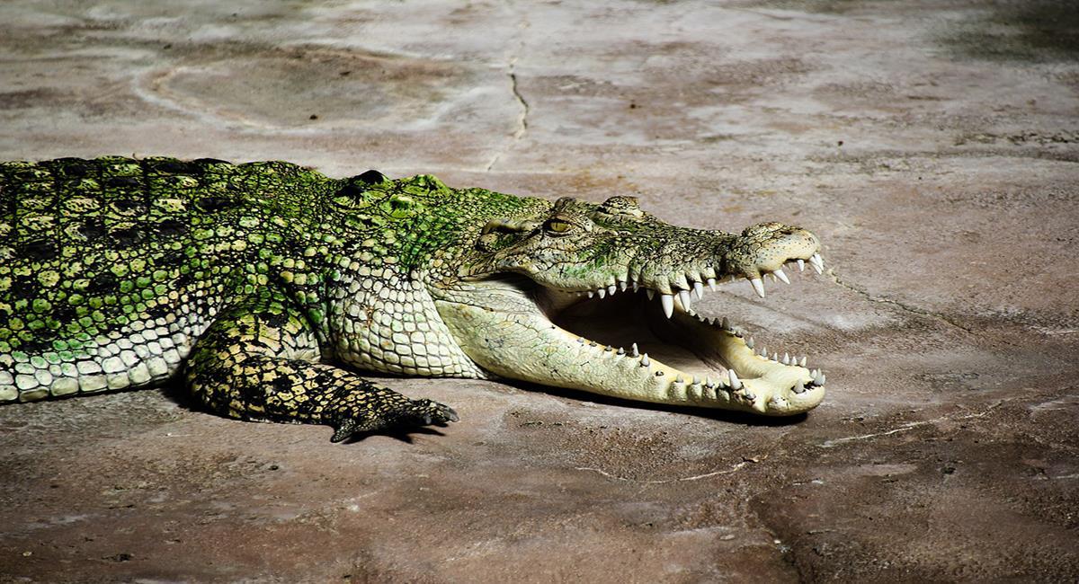 Científicos lograron que un caimán gritara de forma similar a los humanos en un ambiente con Helio. Foto: Pixabay