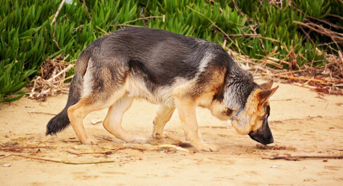 Estas son las 6 razas de perro que se caracterizan por tener el mejor olfato del mundo. Foto: Shutterstock