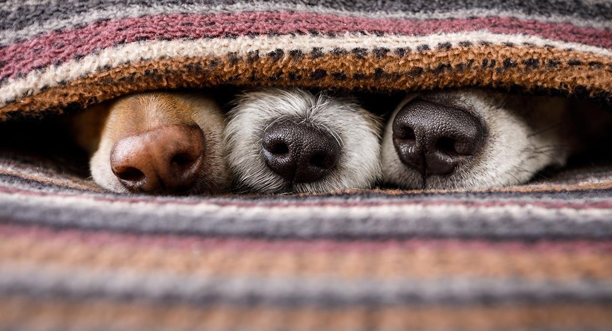 ¿Sabías que hay una raza de perro con dos narices?. Foto: Shutterstock
