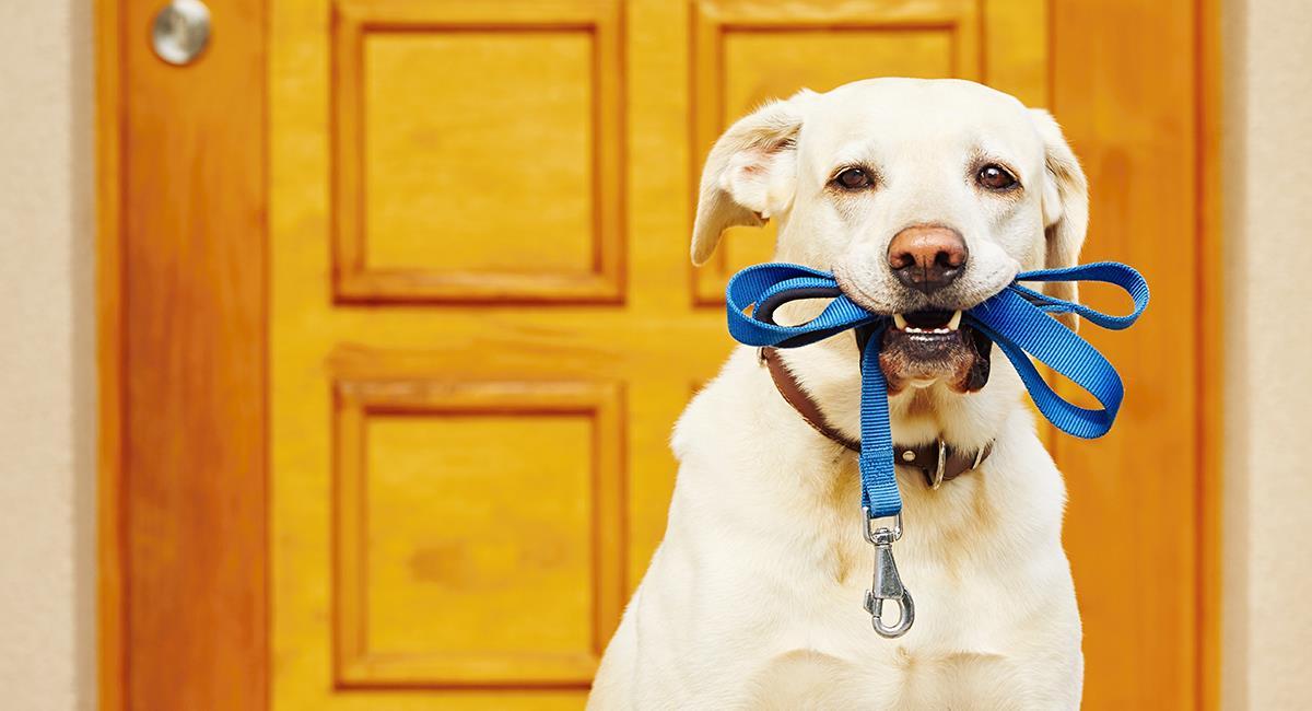 Correas para perros: Aprende a elegir la más indicada para tu mascota. Foto: Shutterstock