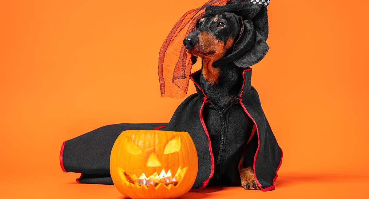 6 cuidados importantes que debes tener con tu mascota en Halloween. Foto: Shutterstock