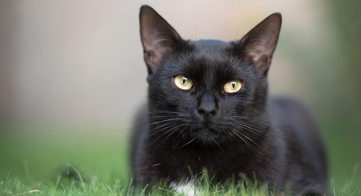 10 supersticiones populares sobre los gatos negros que no te puedes perder. Foto: Pixabay