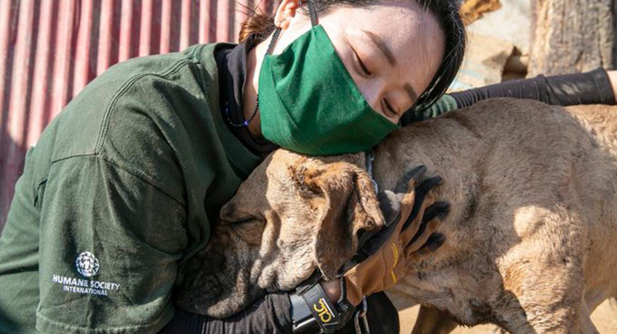 Más de 100 perros de diferentes razas fueron rescatados de una granja de carne. Foto: Twitter @HSIGlobal