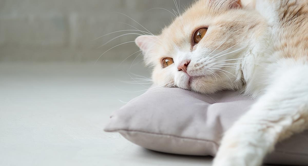 5 señales que revelan que tu gato está deprimido. Foto: Shutterstock