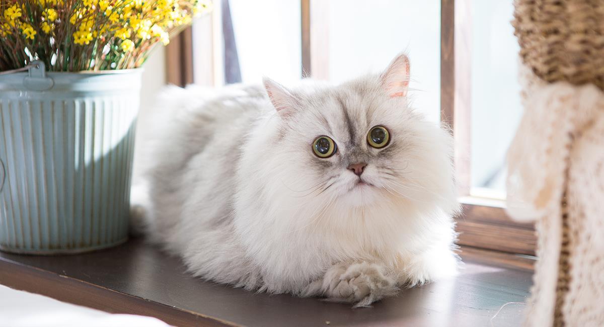 Cuestan toda una fortuna: estos son los 6 gatos más caros de todo el mundo. Foto: Shutterstock