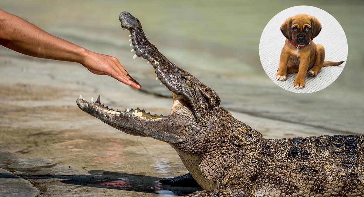Hombre de 74 años arriesgó su vida para salvar a su perro de la boca de un cocodrilo. Foto: Shutterstock