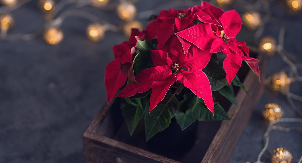 Decoración de Navidad: 5 hermosas plantas perfectas para la época decembrina. Foto: Shutterstock