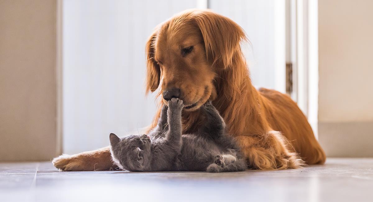 Video: Golden Retriever obliga a un gato a posar para una foto junto a otros 2 perros. Foto: Shutterstock