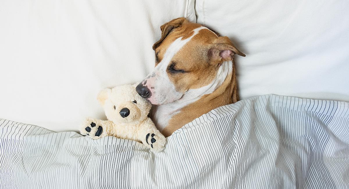 Asombroso: científicos revelan los sueños más comunes que puede tener tu perro. Foto: Shutterstock