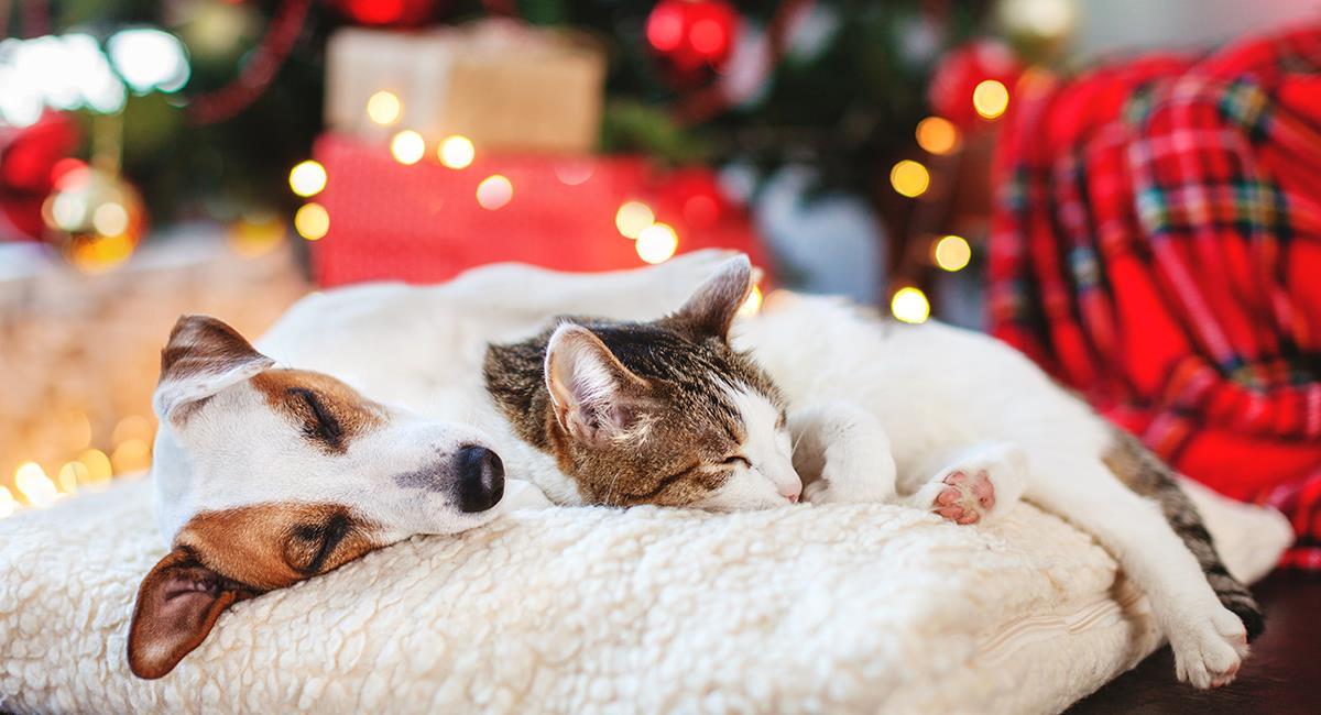Cuidado: estos son los riesgos que corre tu gato o perro en Navidad. Foto: Shutterstock
