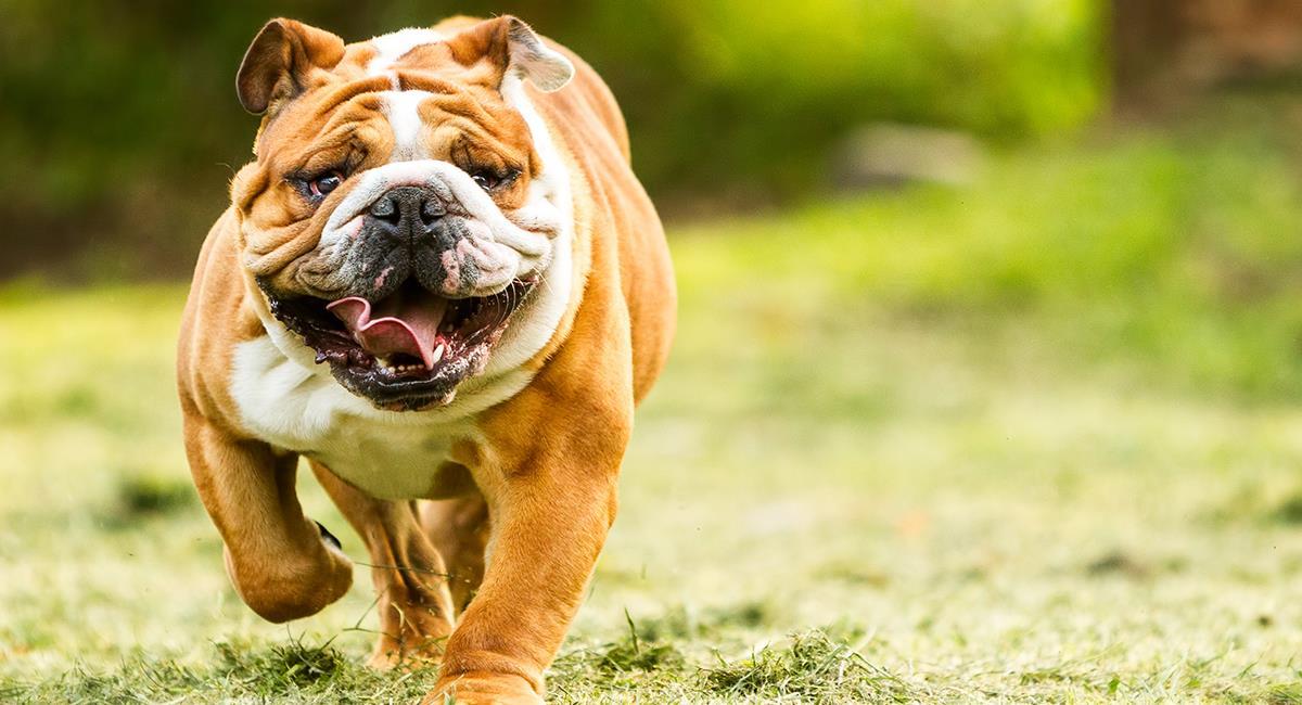 Estas son las 5 razas de perro que tienen más tendencia a babear. Foto: Shutterstock