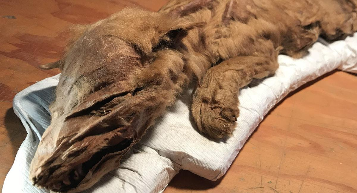 Es el primer espécimen hallado con tanto tiempo fosilizado y tan bien conservado. Foto: Facebook
