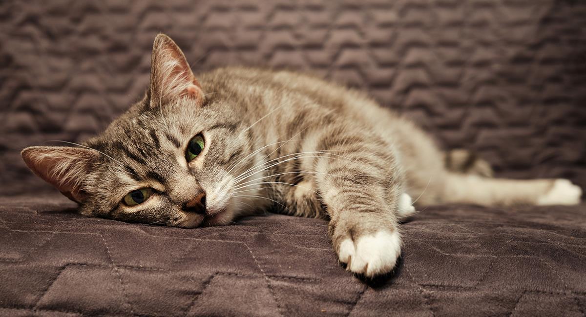 Estas son 7 de las señales que indican que tu gato está enfermo. Foto: Shutterstock