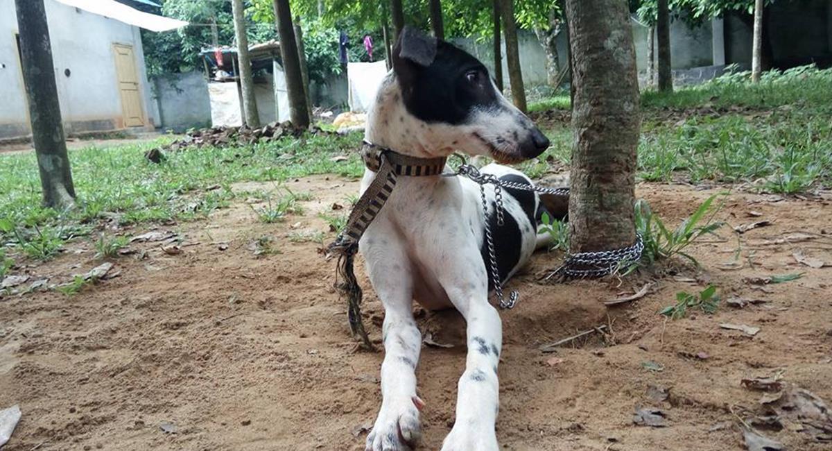 Conoce al perro Sarail, una raza en peligro de extinción. Foto: Facebook The Sarail Hound