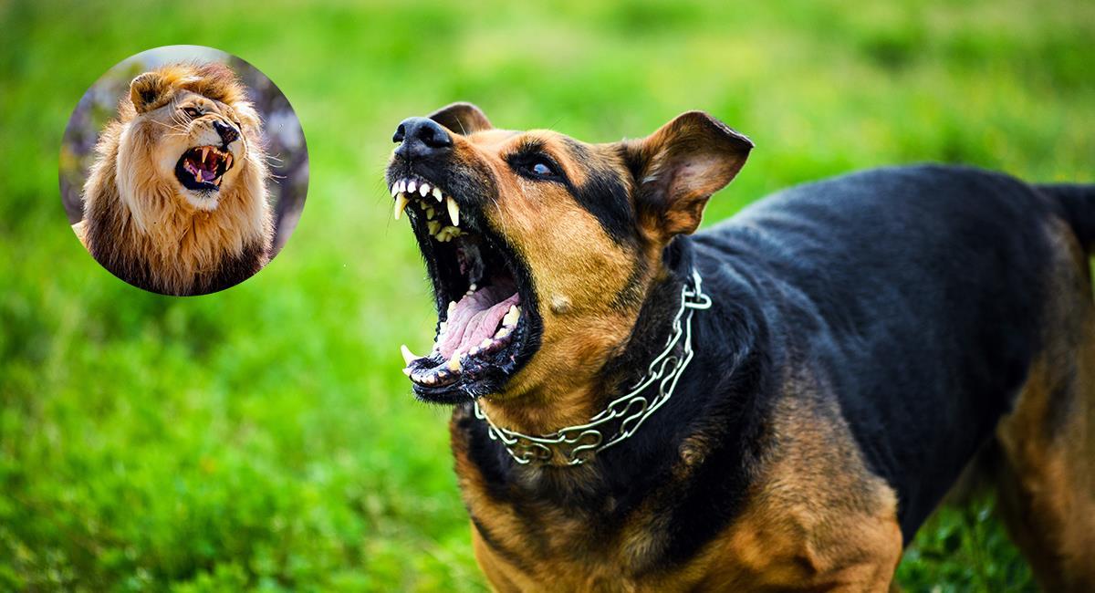 Video: impactante victoria de un perro en pelea contra un león. Foto: Shutterstock