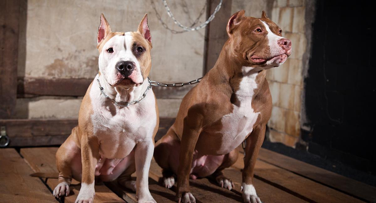 Valientes perros Pitbull salvaron la vida de un niño en incendio. Foto: Shutterstock