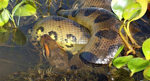 Impresionante anaconda fue rescatada de un estanque en una finca