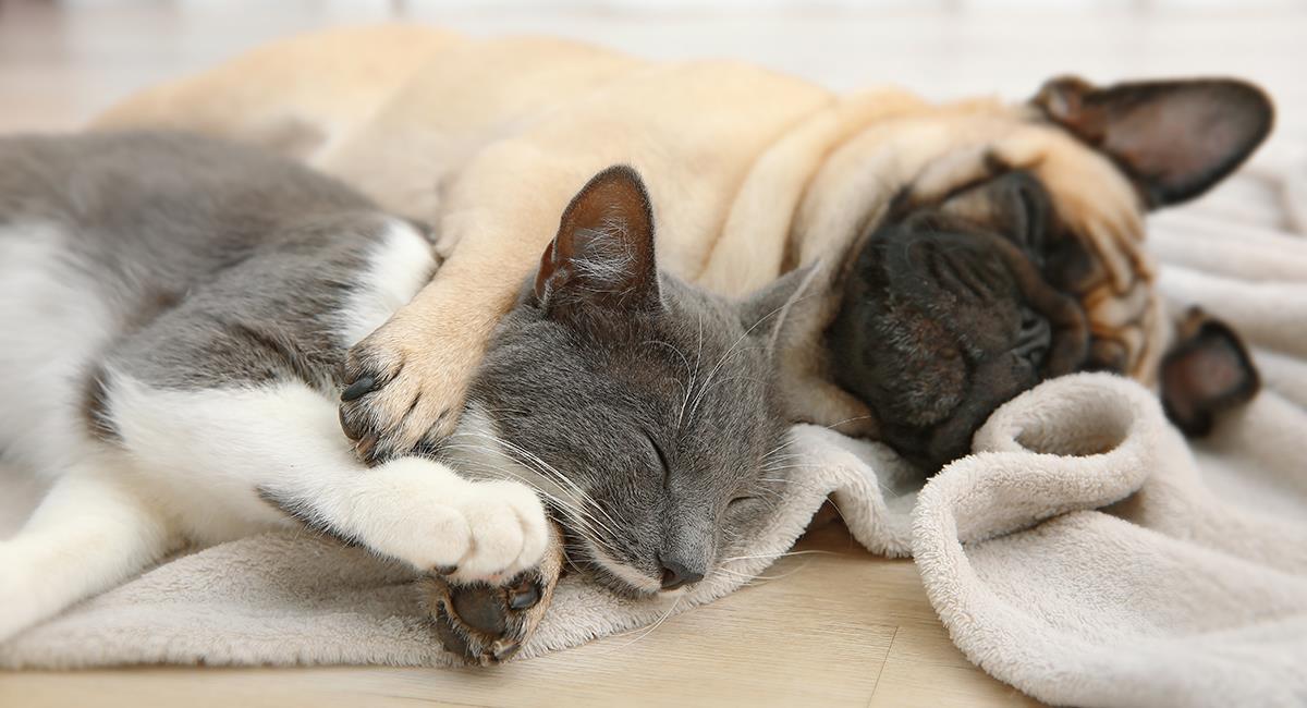 Conoce las 5 razas de perro que mejor se la llevan con los gatos. Foto: Shutterstock