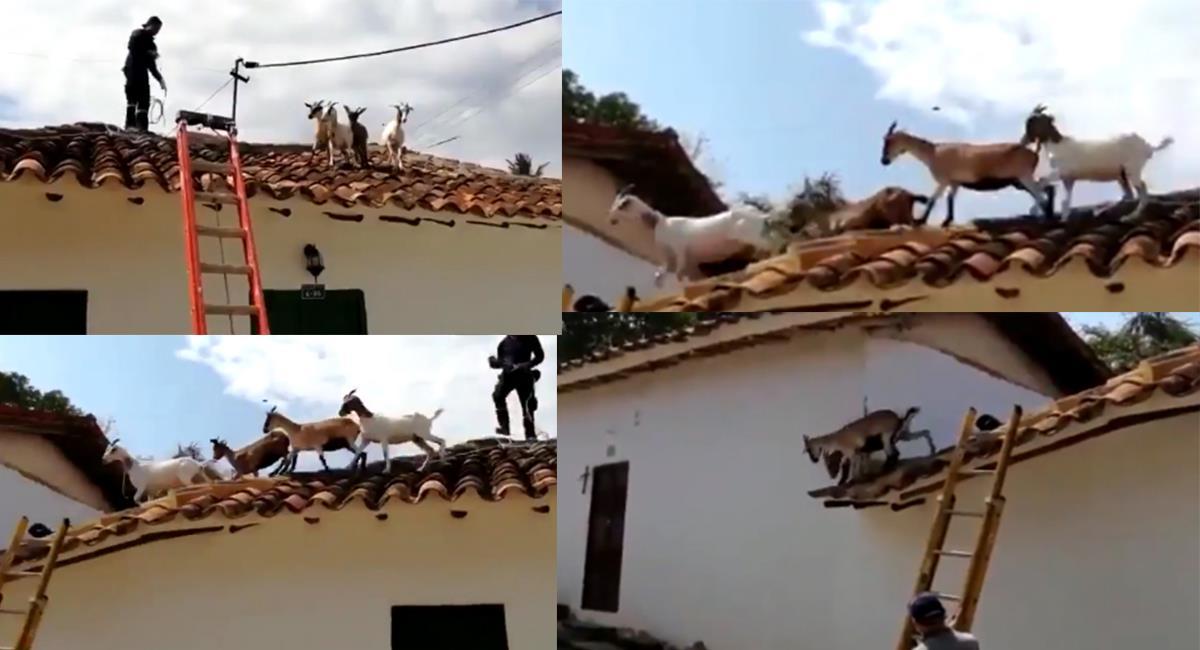 Aún se desconoce cómo se pudieron subir las animales al techo. Foto: Twitter @Toto_Vega