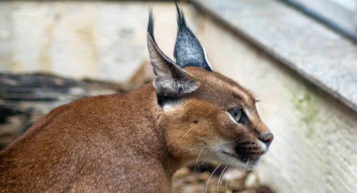 Una científica colombiana es autoridad mundial en la clonación de gatos salvajes para preservar su existencia. Foto: Twitter @clubturismodgtl