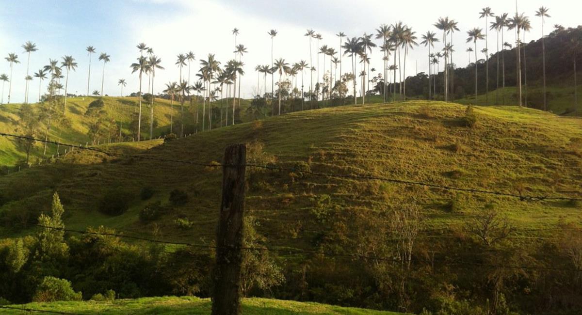 San Félix, tiene el bosque de Palma de Cera más grande de Colombia. Foto: Twitter @Luiferosas