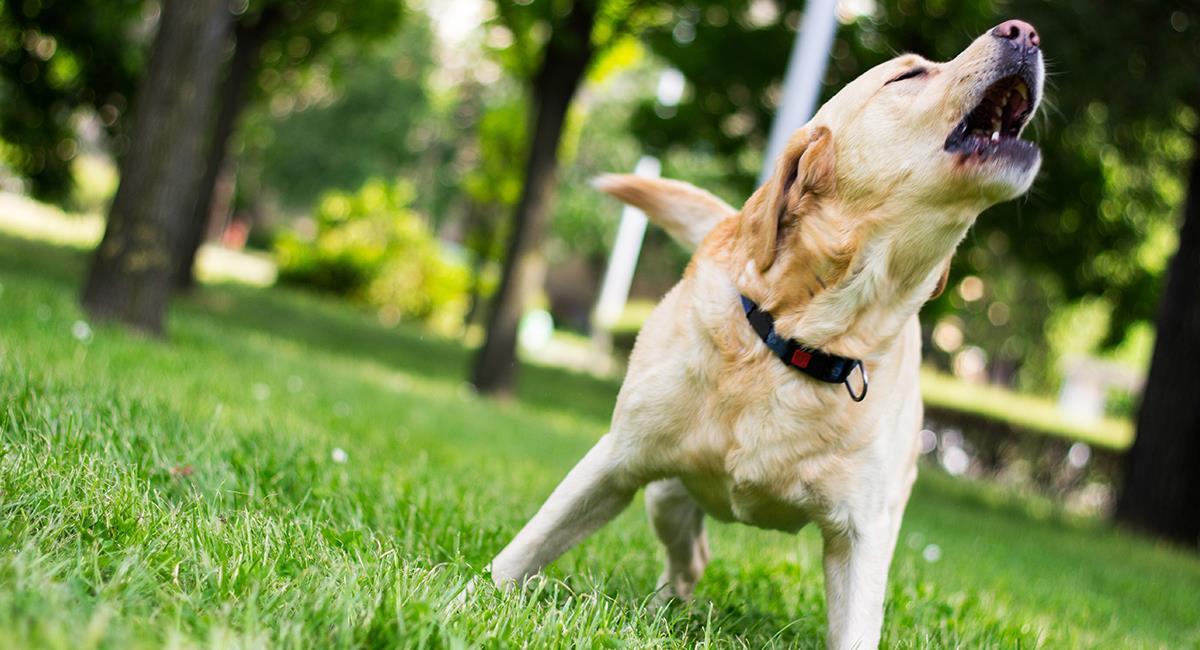 No pasan desapercibidas, estas son las 5 razas caninas más escandalosas. Foto: Shutterstock