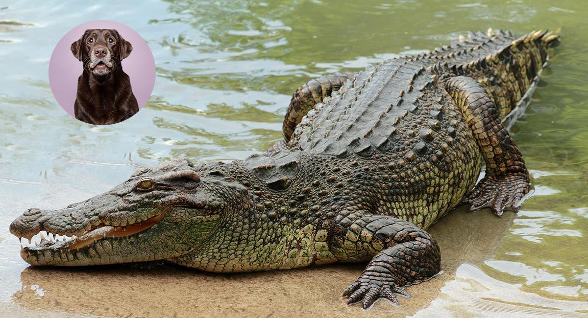 Así se enfrentó un hombre a un caimán para salvar la vida de su mascota. Foto: Shutterstock