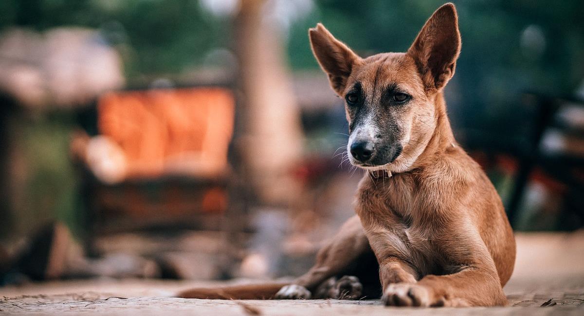 En Brasil sucedió un atropellamiento insólito cuando un perro arrolló a un hombre y este tuvo que ser llevado a un hospital. Foto: Pixabay