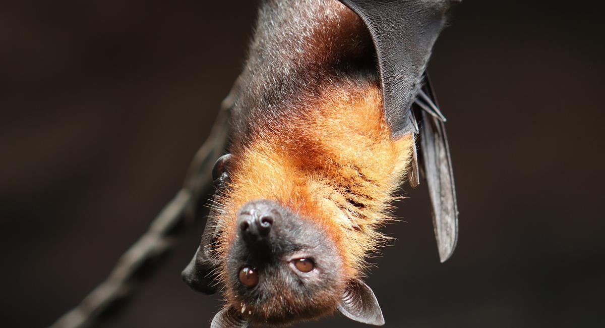 En Yunnan, China, fue encontrado un nuevo lote de coronavirus en murciélagos similar al causante de la pandemia actual. Foto: Pixabay