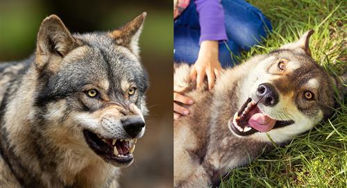 Estudio: así cambiaron los perros por su domesticación