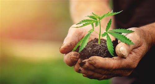 Aprobada exportación marihuana Colombia fines medicinales