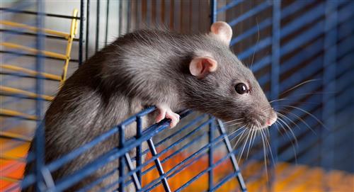 En crisis de ansiedad, joven adoptó 5 ratas y se encerró con ellas