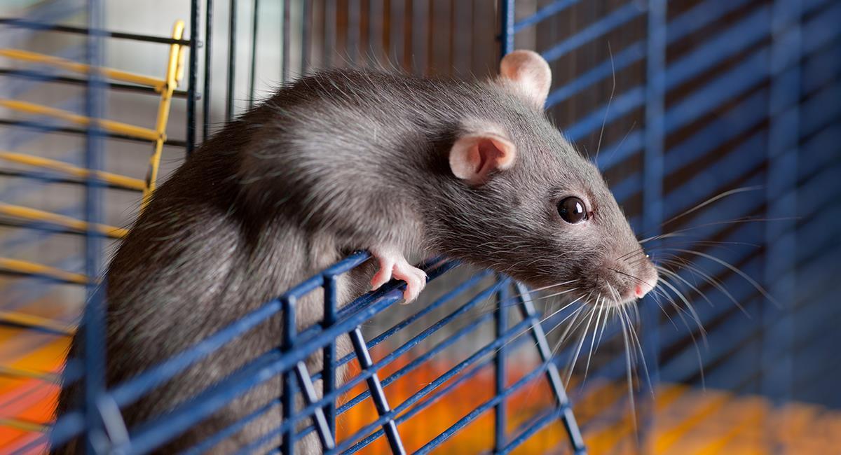 Por desesperación, joven adoptó 5 ratas y se encerró con ellas en apartamento de Bogotá. Foto: Shutterstock