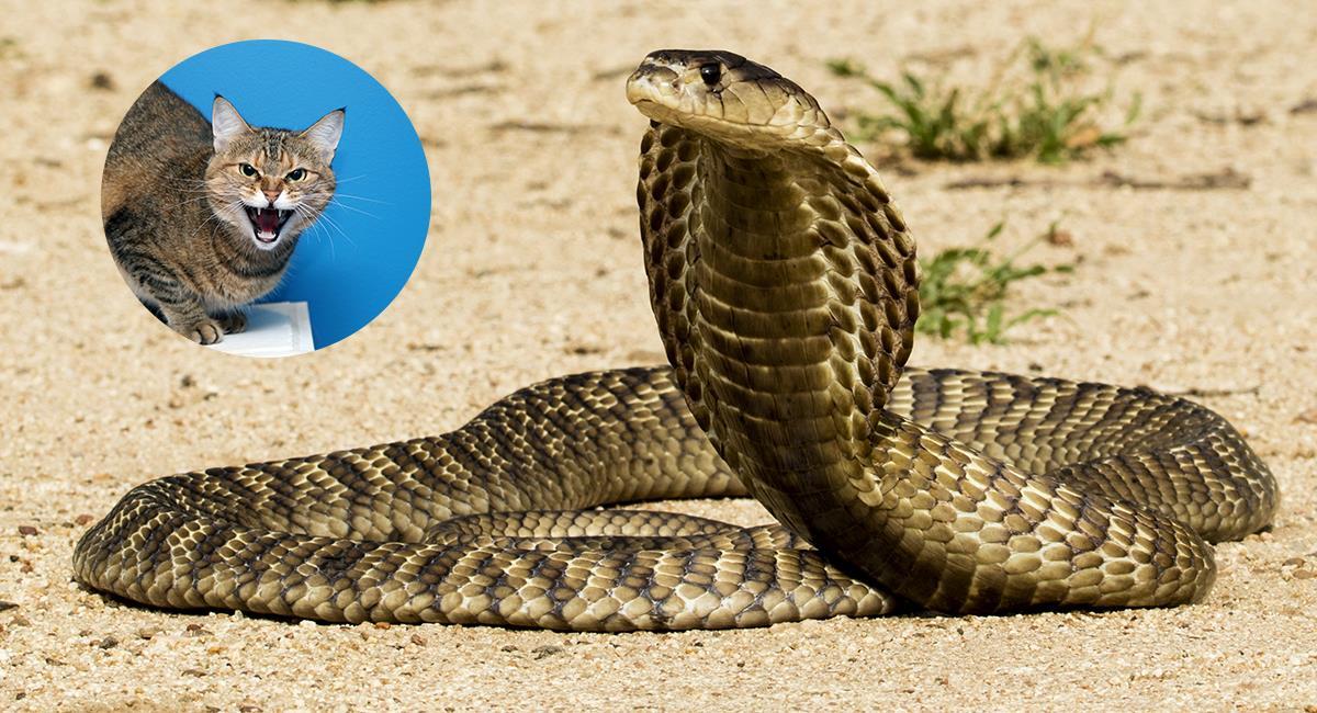 Valiente gato defendió su casa de una cobra lista para atacar. Foto: Shutterstock
