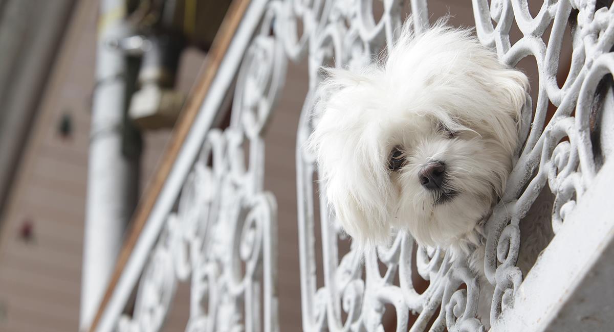 Sin comida ni agua, perro es dejado día y noche en el balcón de un apartamento. Foto: Shutterstock