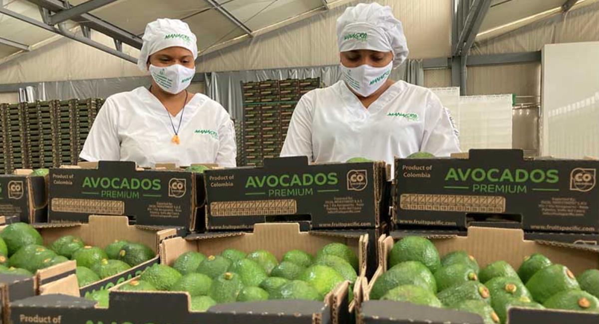 Colombia quiere posicionarse entre los productores de aguacate. Foto: Presidencia de Colombia