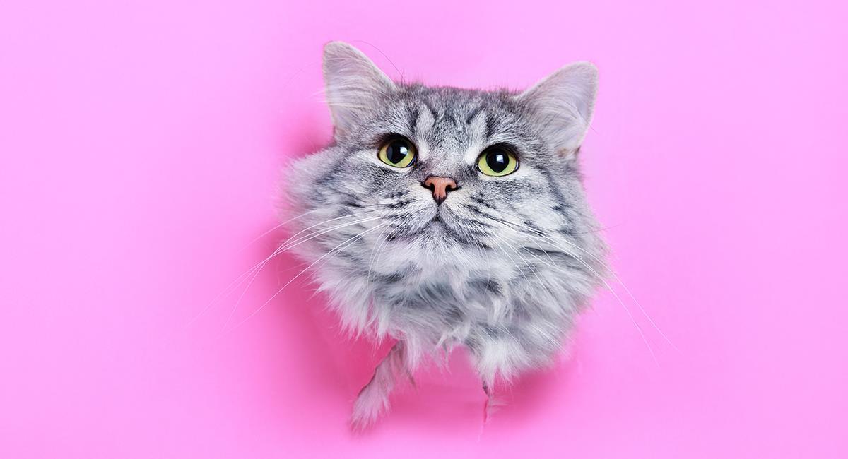 7 datos curiosos sobre los gatos que te dejarán impactado. Foto: Shutterstock