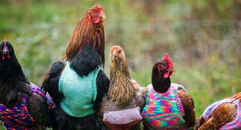 Una vallecaucana se le mide a la reactivación económica fabricando ropa para gallinas
